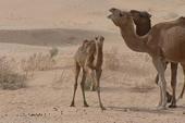 Thumb_frauenreise-kameltrekking-tunesien-komm-her